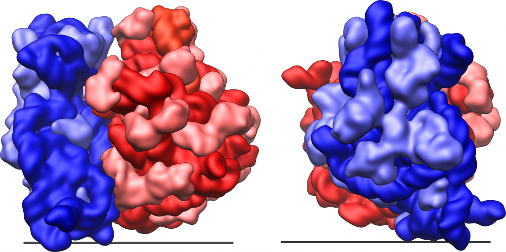 Picture of the structure and shape of the E.coli 70S ribosome.
