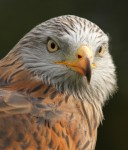 Red Kite II - September 2012